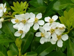 Choisya (Mexican Orange Blossom). Wonderfully scented.
